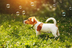 Puppy jack russell playing with soap bubbles Royalty Free Stock Photography