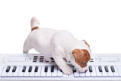 The puppy Jack Russell playing Stock Image