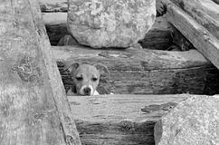 Puppy Jack Russell. Puppy Jack Russel looking from gap in old shipwreck stock image