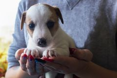 Puppy Jack Russell sits on the hands of royalty free stock photo