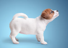The puppy Jack Russell royalty free stock images
