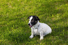 Puppy Jack Russell Terrier stock foto