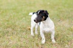 Puppy Jack Russell Terrier royalty-vrije stock afbeeldingen