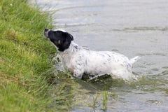 Puppy Jack Russell Terrier stock afbeeldingen