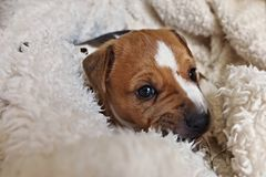 Puppy of Jack Russell Terrier. In blanket royalty free stock images