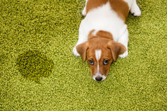 Puppy Jack russell terrier lying on a carpet and  looking guilty Stock Images