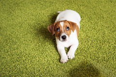 Puppy Jack russell terrier lying on a carpet and  looking up gui Stock Photos