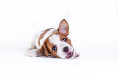 Free Puppy. Jack Russell Terrier. On The White Stock Image - 34609371
