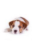 Puppy. Jack Russell Terrier. op het wit Royalty-vrije Stock Foto's