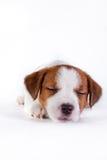 Puppy. Jack Russell Terrier. op het wit Stock Afbeeldingen