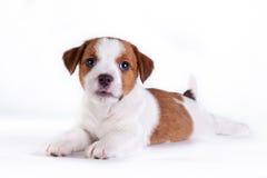 Puppy. Jack Russell Terrier. op het wit Stock Foto's