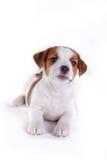Puppy. Jack Russell Terrier. op het wit Royalty-vrije Stock Fotografie