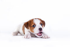 Puppy. Jack Russell Terrier. op het wit Royalty-vrije Stock Afbeeldingen