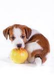 Puppy. Jack Russell Terrier. op het wit Stock Foto