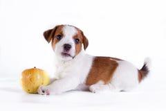 Puppy. Jack Russell Terrier. op het wit Stock Afbeelding