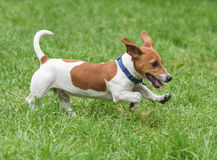 Puppy of Jack Russell Terrier pet dog running on green grass Stock Photography