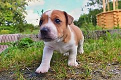 Puppy of Jack Russell Terrier. Is playing in garden stock photography