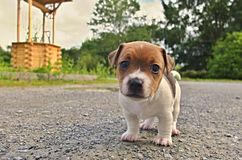 Puppy of Jack Russell Terrier. Is playing in garden stock photo
