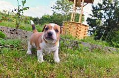 Puppy of Jack Russell Terrier. Is playing in garden stock photos