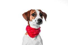 Puppy Jack Russell terrier Royalty Free Stock Image