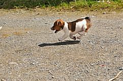 Puppy of Jack Russell Terrier. Is running in garden royalty free stock images