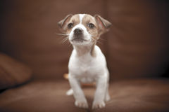 Puppy Jack Russell Terrier Stock Photo