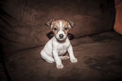 Puppy Jack Russell Terrier Royalty Free Stock Images