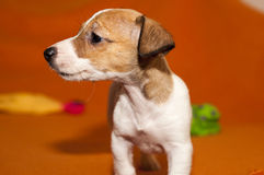 Puppy Jack Russell Terrier Stock Image