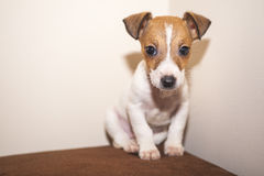Puppy Jack Russell Terrier Royalty Free Stock Photo