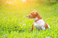 Puppy jack russell terrier for a walk in the park at sunset light. royalty free stock image