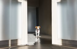 Puppy jack russell terrier walking along a corridor royalty free stock photography