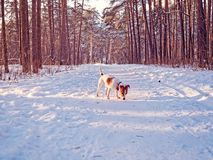 A puppy of the jack russell terrier walks in the winter pine forest and sniffs a trail on the trail stock photo
