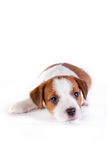 Puppy. Jack Russell Terrier. on the white. Dog. in the studio stock image