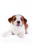 Puppy. Jack Russell Terrier. on the white. Dog. in the studio stock images