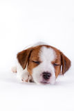 Puppy. Jack Russell Terrier. on the white Stock Images