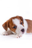 Puppy. Jack Russell Terrier. on the white. Dog. in the studio royalty free stock photography