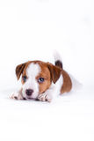 Puppy. Jack Russell Terrier. on the white. Dog. in the studio stock photos