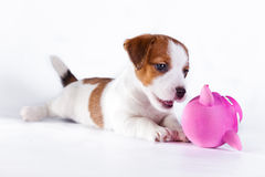Puppy. Jack Russell Terrier. on the white. Dog. in the studio stock photography