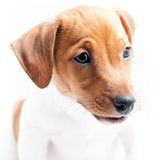 Puppy Jack Russell Stock Images