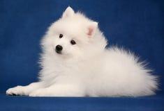Puppy of Japanese white spitz on blue background. Cute Puppy of Japanese white spitz lies on blue background Royalty Free Stock Photos