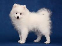 Puppy of Japanese white spitz on blue background. Cute Puppy of Japanese white spitz standing on blue background royalty free stock image
