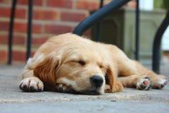 Puppy Jessie Royalty-vrije Stock Fotografie