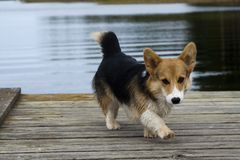 Puppy on jetty. Small welsh corgi puppy on jetty Stock Photos