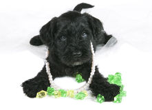 Puppy with jewelry Stock Photo