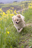 Puppy jumping. A little puppy is jumping happily in the outside field,although he jumps not high Stock Photo