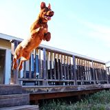 Puppy jumping through the air Stock Image