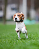 Puppy jumping and running. Young beagle puppy running and jumping royalty free stock images