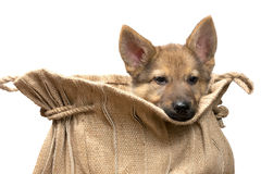 Puppy in a jute back Royalty Free Stock Photography