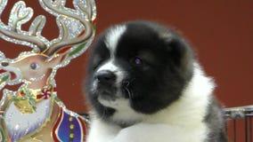Puppy Kaukasische Herder stock videobeelden