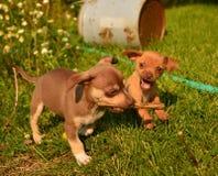 Puppy keepaway spelen stock fotografie